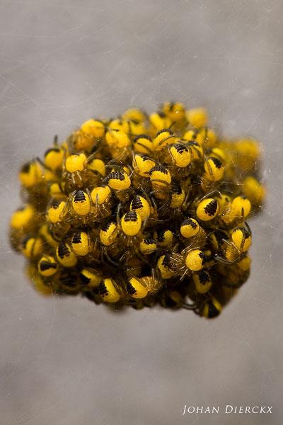 Kruisspin (Araneus diadematus) juveniel